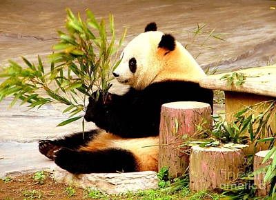 Photograph - Panda Bear In China by John Potts