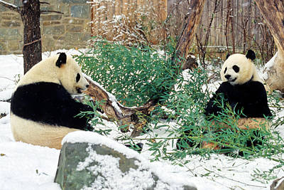 Panda Bears In Snow Art Print