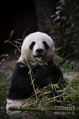 Panda Original