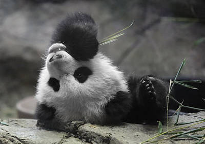 Panda Cub At National Zoo Art Print