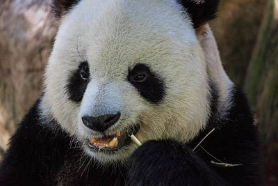 Photograph - Panda by Matthew Onheiber