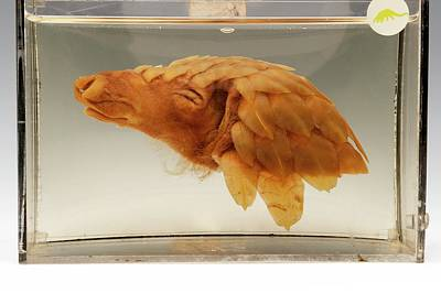 Anteater Photograph - Pangolin Head by Ucl, Grant Museum Of Zoology
