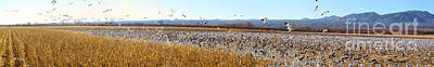 Photograph - Panorama Bosque Del Apache Nwr Corn Field by Roena King