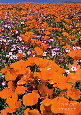 Photograph - Panorama Califonria Poppies And Hollyleaf Gilia Wildflowers by Dave Welling