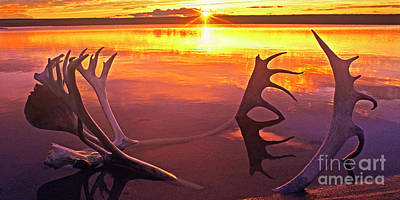 Photograph - Panorama Caribou Antlers Whitefish Lake Nwt Canada by Dave Welling
