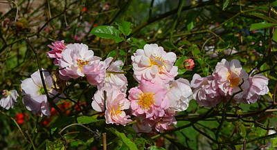 Photograph - Panorama Of Pale Pink English Cottage Roses by Carla Parris