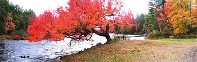 Panorama Of Red Maple Tree, Muskoka Print by Henry Lin