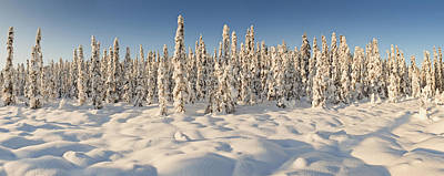 Panoramic View Of Snow-covered Spruce Art Print by Ray Bulson