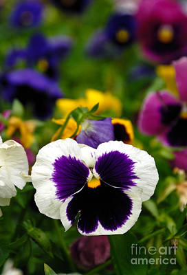Pansies Photograph - Pansies by Amy Cicconi