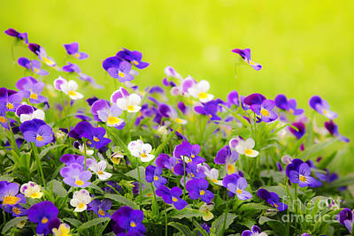 Pansy Photograph - Pansies by Elena Elisseeva