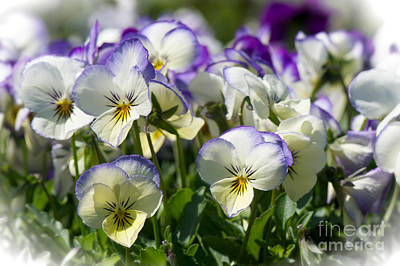Pansies In Loomis Art Print