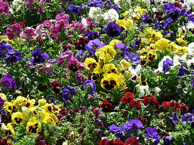 Photograph - Pansies  by Jeff Lowe