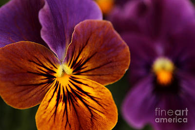 Photograph - Pansies by Morgan Wright