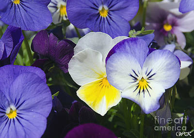 Photograph - Pansies by Wanda Krack