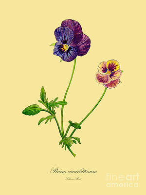 Drawing - Pansy by Alexa Szlavics