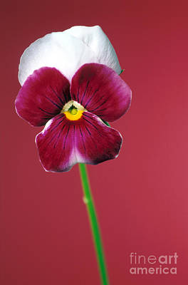 Photograph - Pansy by Carl Perkins