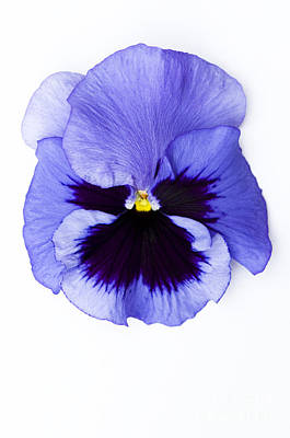 Pansy Face Art Print by Anne Gilbert