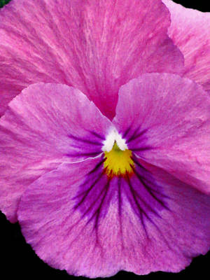 Photograph - Pansy Flower 07 by Pamela Critchlow