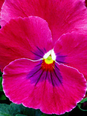 Photograph - Pansy Flower 08 by Pamela Critchlow
