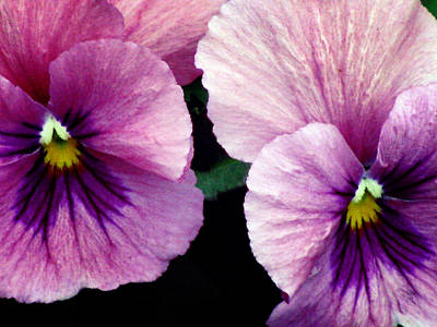 Photograph - Pansy Flower 09 by Pamela Critchlow