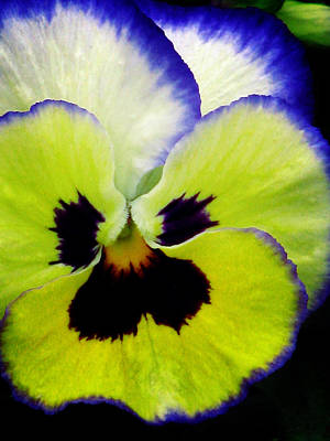 Photograph - Pansy Flower 14 by Pamela Critchlow