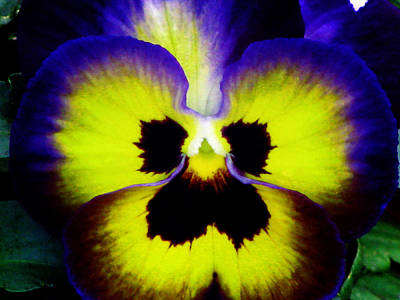 Photograph - Pansy Flower 15 by Pamela Critchlow
