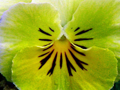 Photograph - Pansy Flower 16 by Pamela Critchlow