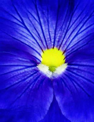 Photograph - Pansy Flower 26 by Pamela Critchlow