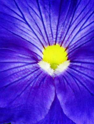 Photograph - Pansy Flower 27 by Pamela Critchlow