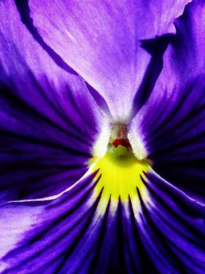 Photograph - Pansy Flower 30 by Pamela Critchlow