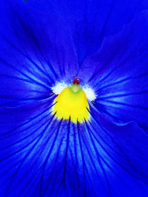 Photograph - Pansy Flower 35 by Pamela Critchlow