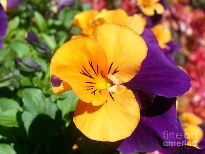 Photograph - Pansy by Heather L Wright
