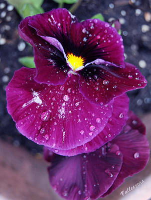 Pansy In The Dew Art Print by Vallee Johnson
