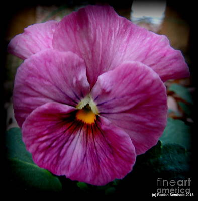 Its A Piece Of Cake - Pansy in Winter by Rabiah Seminole