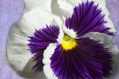 Photograph - Pansy by Jeanne Hoadley