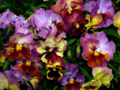 Pansy Mania Art Print by Diane Schuster