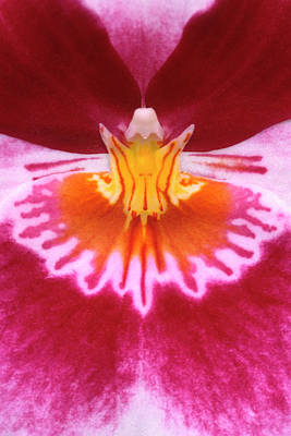 Hothouses Photograph - Pansy Orchid Abstract by Nigel Downer