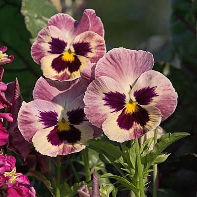 Photograph - Pansy Pano 1 by Theo OConnor