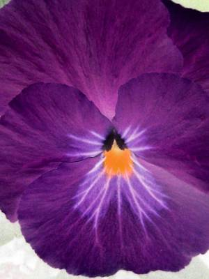 Photograph - Pansy Power 11 by Pamela Critchlow