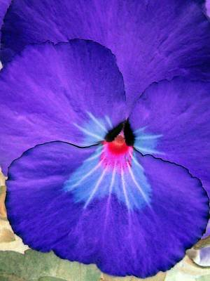 Photograph - Pansy Power 13 by Pamela Critchlow