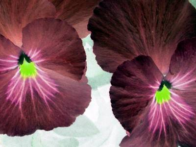 Photograph - Pansy Power 14 by Pamela Critchlow