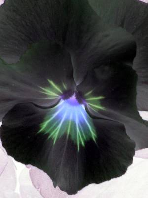 Photograph - Pansy Power 19 by Pamela Critchlow