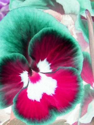 Photograph - Pansy Power 29 by Pamela Critchlow