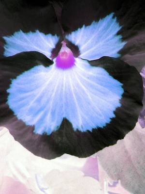 Photograph - Pansy Power 30 by Pamela Critchlow