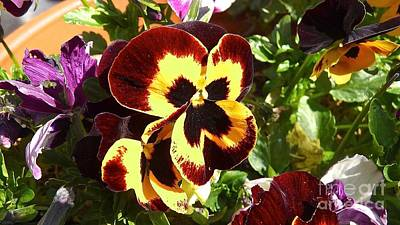 Pansy Time Art Print by Julie Koretz
