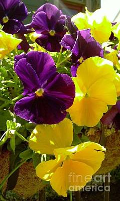 Photograph - Pansy Viola Comuta by Michael Hoard