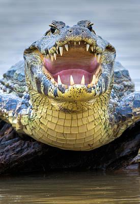 Wetlands Photograph - Pantanal Caiman, Pantanal Wetlands by Panoramic Images