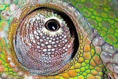 Madagascar Photograph - Panther Chameleon Eye by Alex Hyde