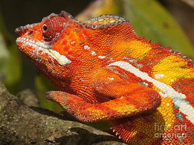 Photograph - panther chameleon from Madagascar 3 by Rudi Prott
