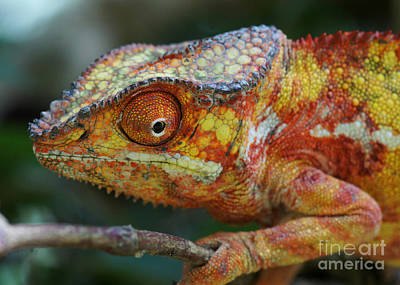 Photograph - panther chameleon from Madagascar 4 by Rudi Prott